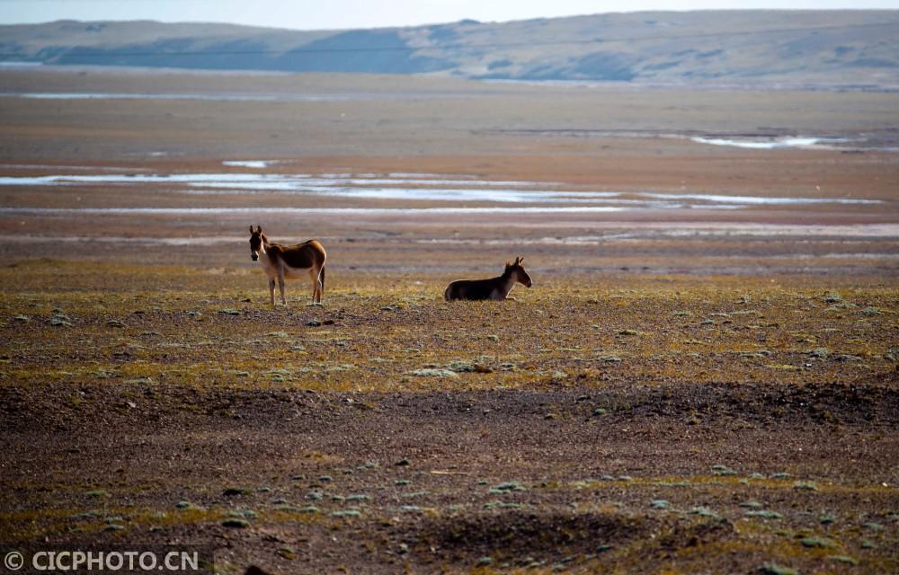青海可可西里:野生动物的天堂