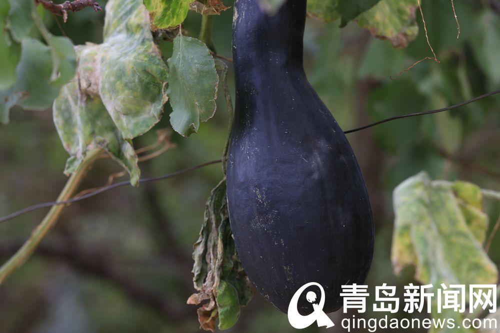 九上沟秋韵拉瓜墨绿扁豆紫玉米金黄高粱红