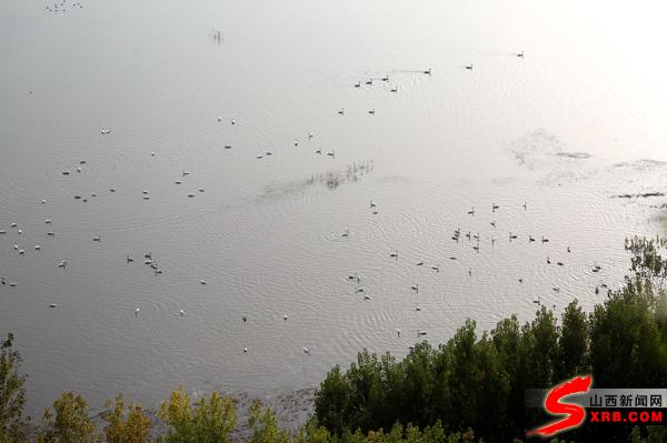 太美了!山西黃河濕地迎來首批越冬野生白天鵝
