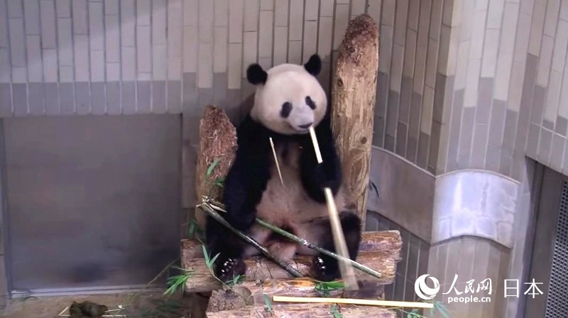 """大熊猫""""香香""""即将归国上野动物园策划活动表谢意"""