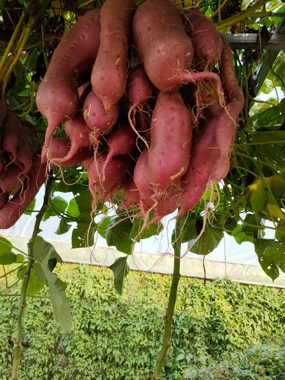 """农业专家谈栽培""""空中红薯"""":生长时其实有花盆,可长期存活"""