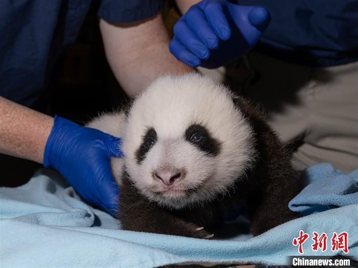 """大熊猫""""美香""""在美被照顾不周?华盛顿动物园:产后食欲已恢复正常"""