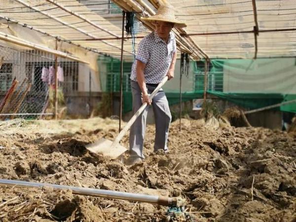 东莞一位房东大叔在楼顶试种水稻火了,还丰收了