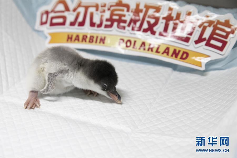 企鹅宝宝降生