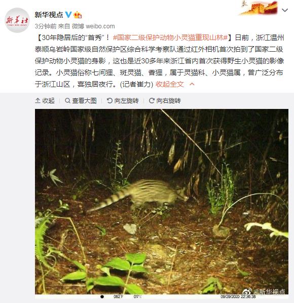 """30年隐居后的""""首秀""""!国家二级保护动物小灵猫重现山林"""