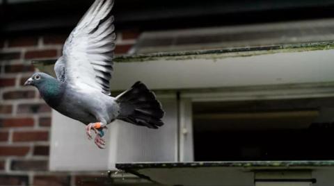 天价纪录!神秘中国买家160万欧元拍下比利时赛鸽