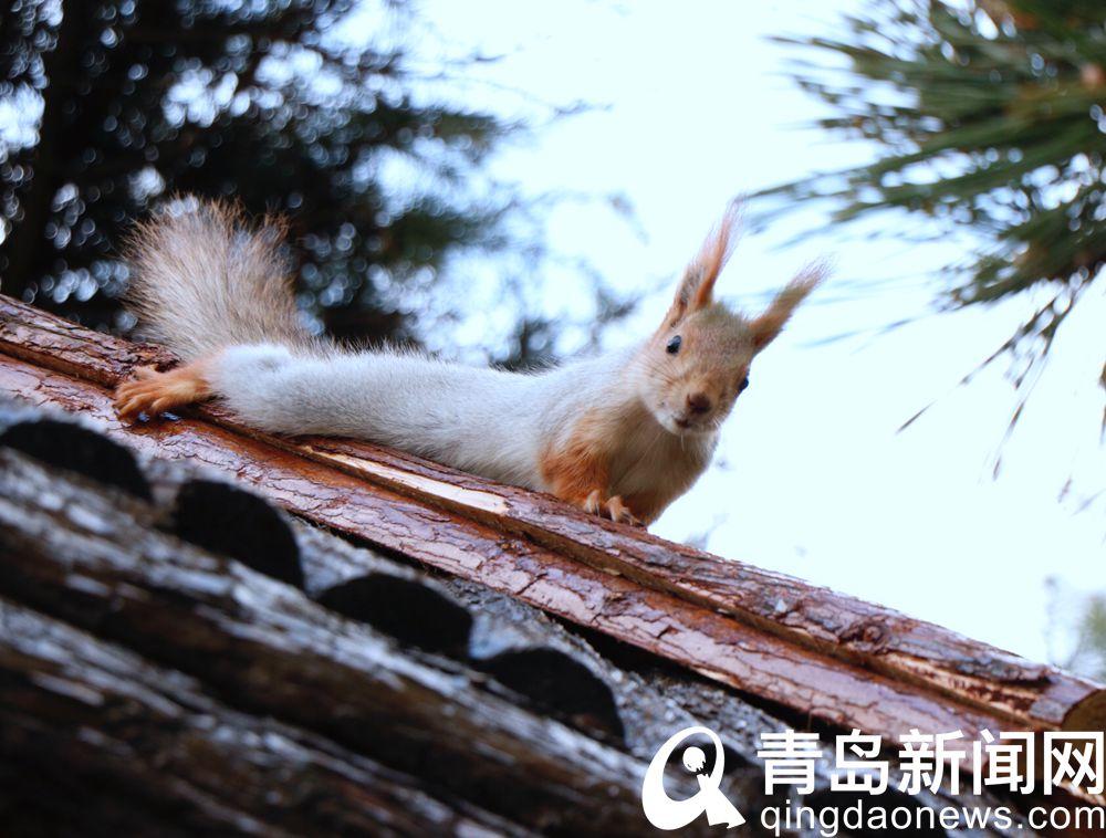雪地松鼠现身青岛信号山样子好可爱