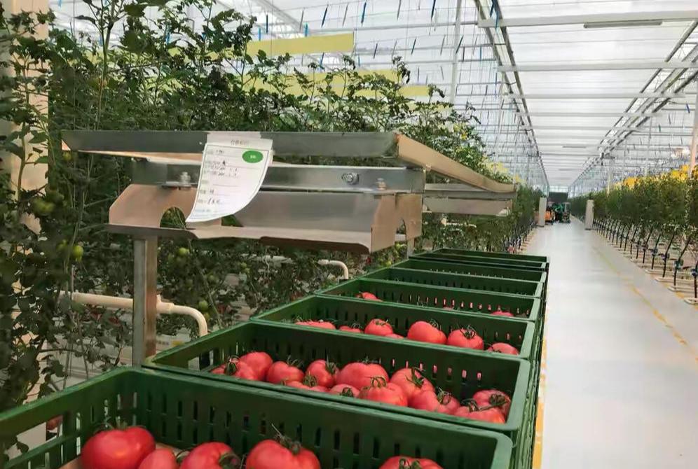 """每平米产番茄75公斤 看四川东坡区""""超级大棚""""如何成为成都""""菜篮子"""""""