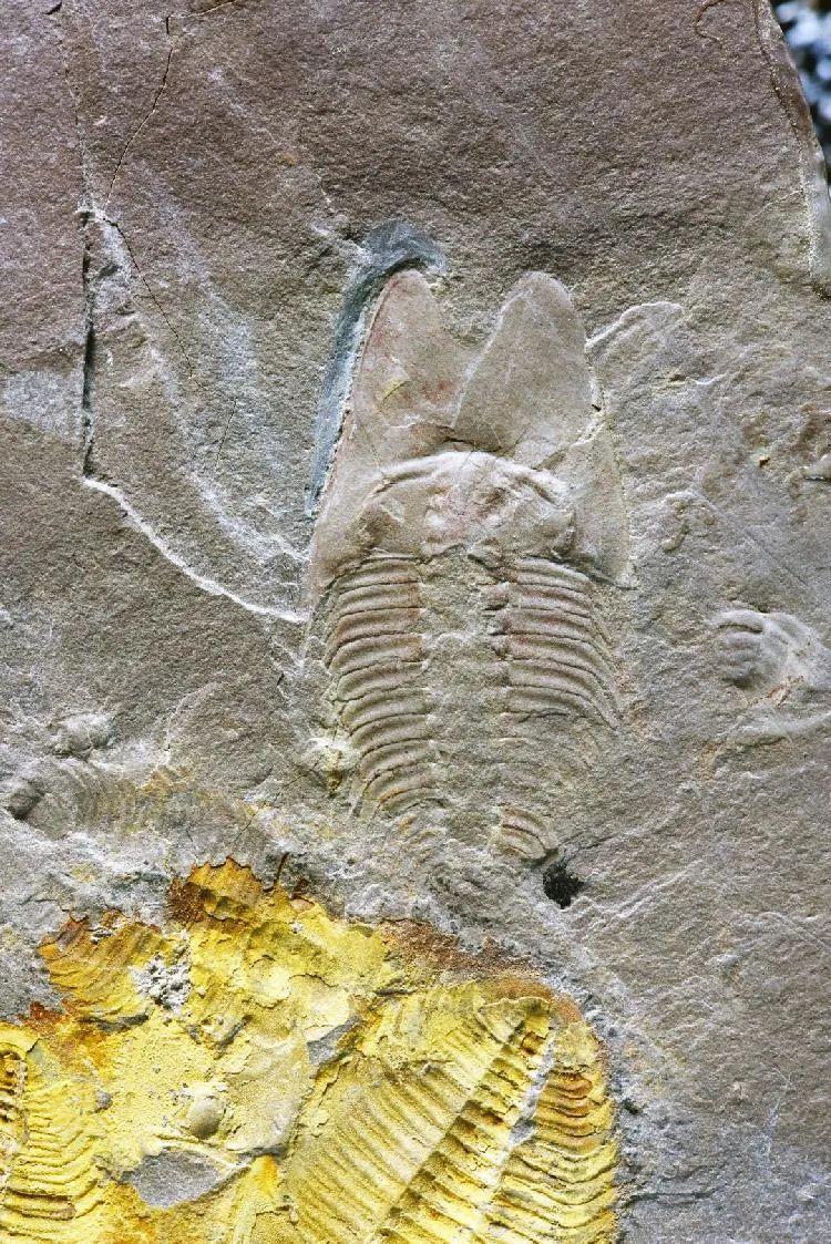 90后研究生用周杰伦专辑为5亿年前三叶虫命名