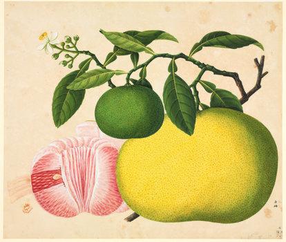 从未知国到异托邦:17-20世纪西方在中国的植物猎取③