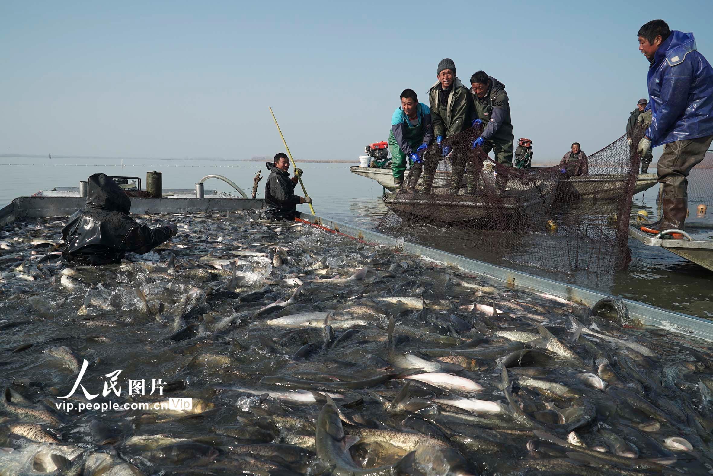 安徽五河:沱湖冬捕300万斤生态鱼将投放市场