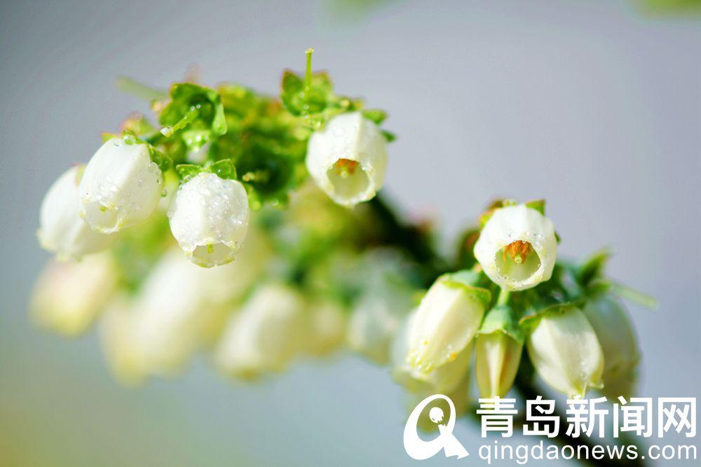 冬天里的春消息蓝莓花盛开首批成熟蓝莓3月初即可上市