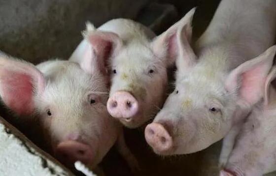 生猪期货不断走高涨超5% 这背后是何逻辑支撑?