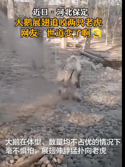 """河北一动物园内老虎被大鹅追咬,网友调侃:""""世道""""变了"""