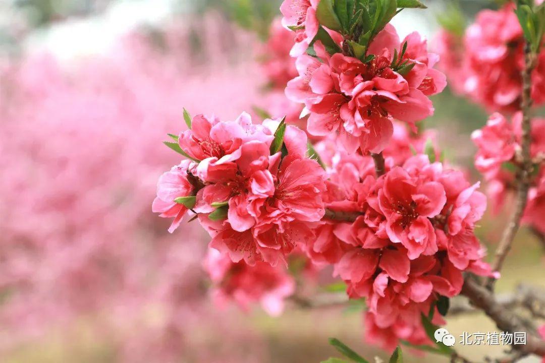 五彩缤纷的鲜花不断被归档,北京植物园周末花园攻略