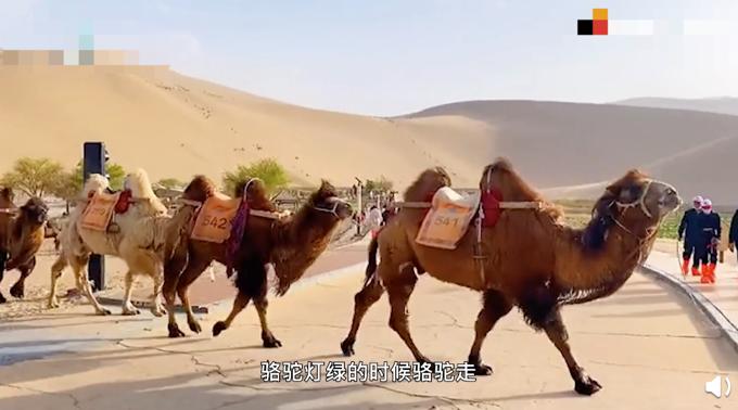 甘肃一景区设骆驼红绿灯:骆驼灯绿骆驼走,行人灯绿行人走