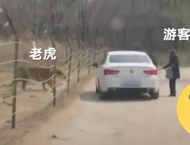 北京一女子擅自在动物园猛兽区下车,与老虎仅隔数米!园方回应