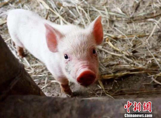 猪肉价格降到10元以下,要发家不能光靠养猪了