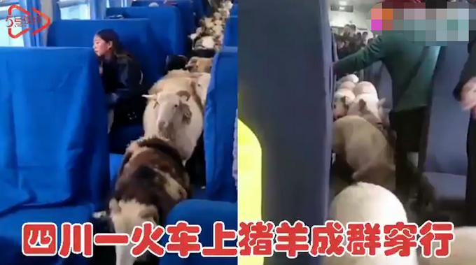 四川一火车上有猪羊成群穿行,画面太心爱,网友评论亮了