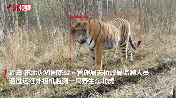 吉林又拍到野生东北虎,步伐矫健从镜头前走过
