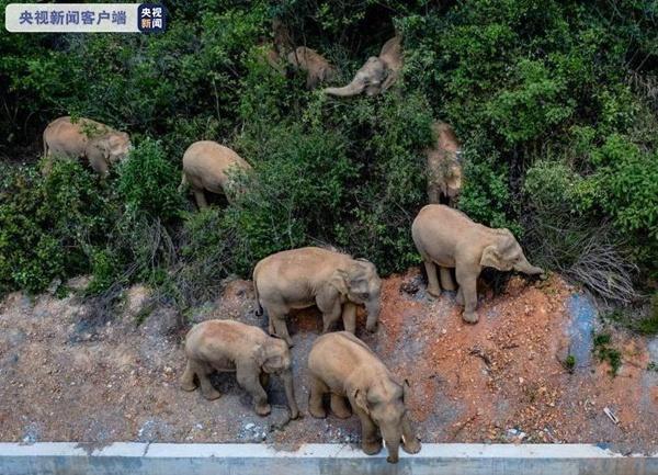15头野生亚洲象一路北上接近昆明 专家:领头母象经验不足