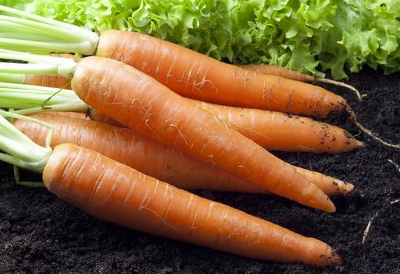 """""""冬月掘根,生熟皆可啖""""这种大众果蔬是养生保健佳品  保健养生 第2张"""