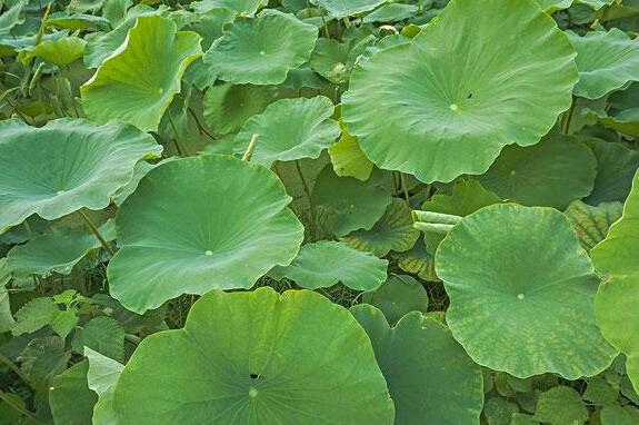 用这叶子煮水喝,轻松赶跑夏季小毛病 疾病防治 第3张