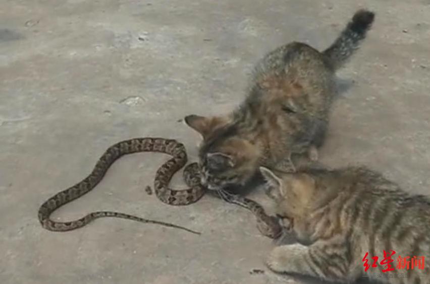 四川宜宾泸州多人被蛇咬伤 医院:端午前后毒蛇活动频繁,注意防范
