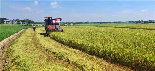 太空稻谷迎來收獲季,歡欣鼓舞國人振奮