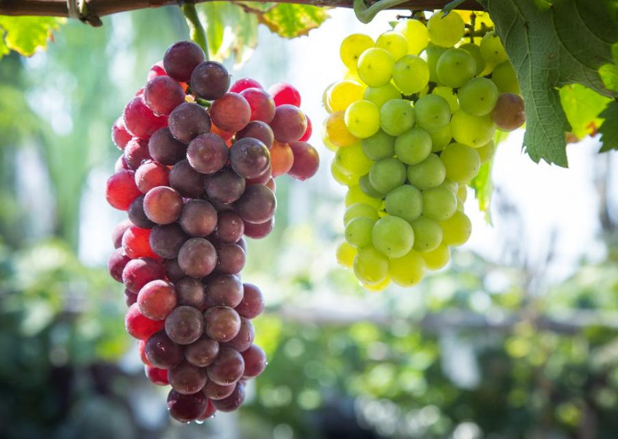 入伏多吃这3种酸味水果,生津解渴清热消暑