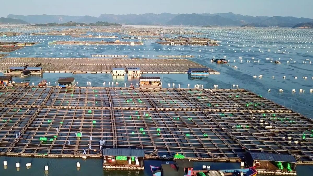 中国大黄鱼之乡是哪里(野生黄鱼为什么这么贵)