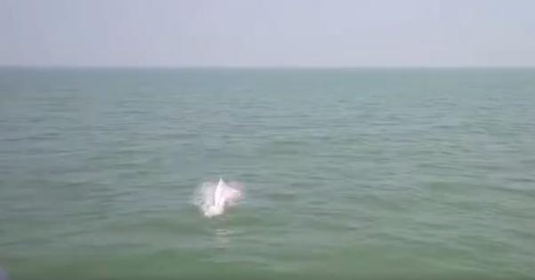 广西北海惊现中华白海豚,太漂亮了