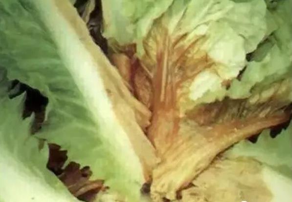 植物细菌性病害的识别与详解,附常见细菌性病害录大全 园林病虫防治 第7张