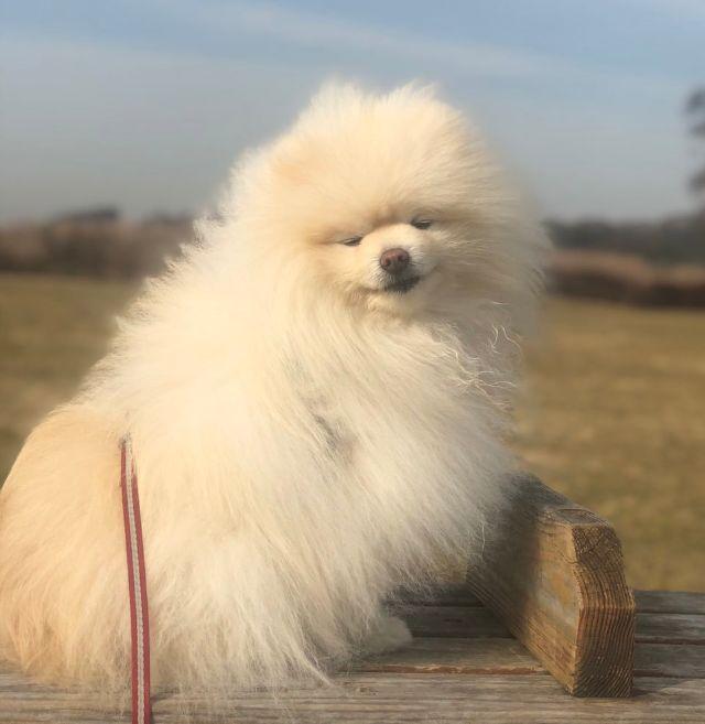 博美发型笑喷网友:为了出门玩,狗子有多丧心病狂?