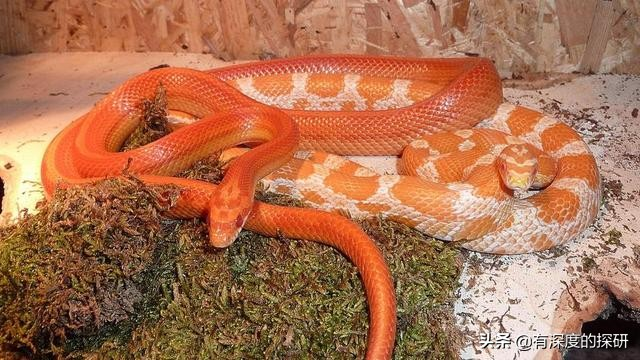 """""""玉米蛇""""是一种受欢迎的宠物,无毒,而且它们温和且易于照顾"""