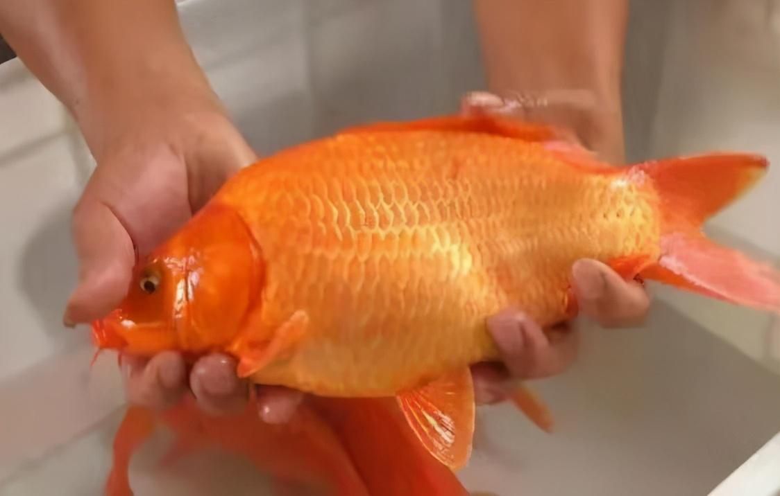 近期热炒的荷包鲤鱼,原来只是某地区,人工养殖的一种食用鱼?