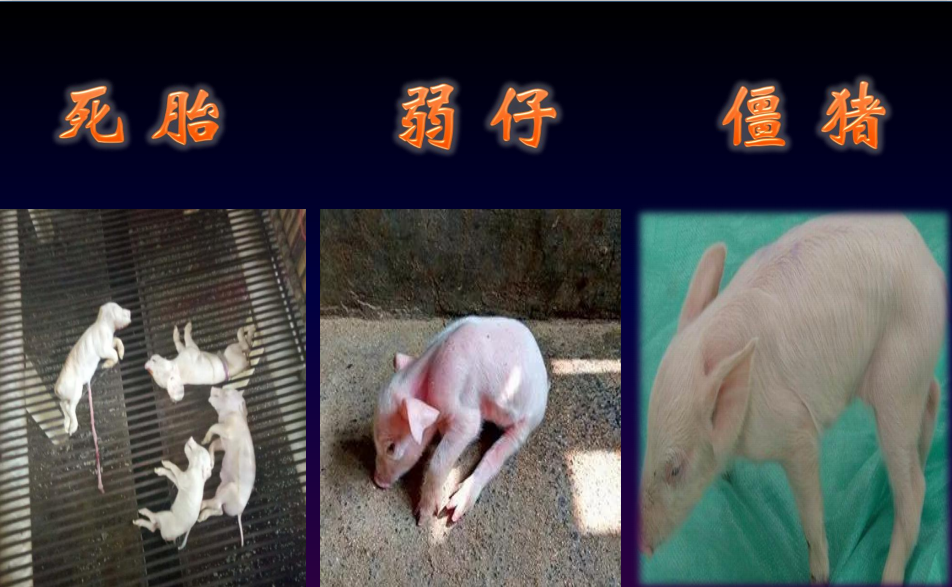 牲血旺解决母猪贫血,提高繁殖性能,轻松多产一头合格仔猪