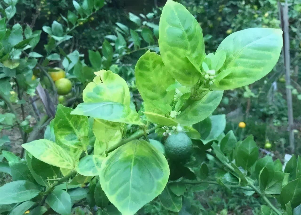 秋季返花、幼树早花,柑橘花芽分化期异常情况解析