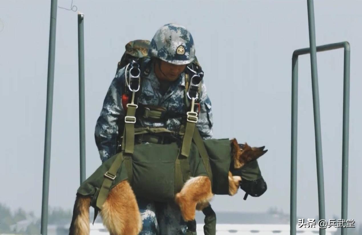 空降兵空降犬一起伞降,军犬全套装备正规编制,渗透掩护落地能战