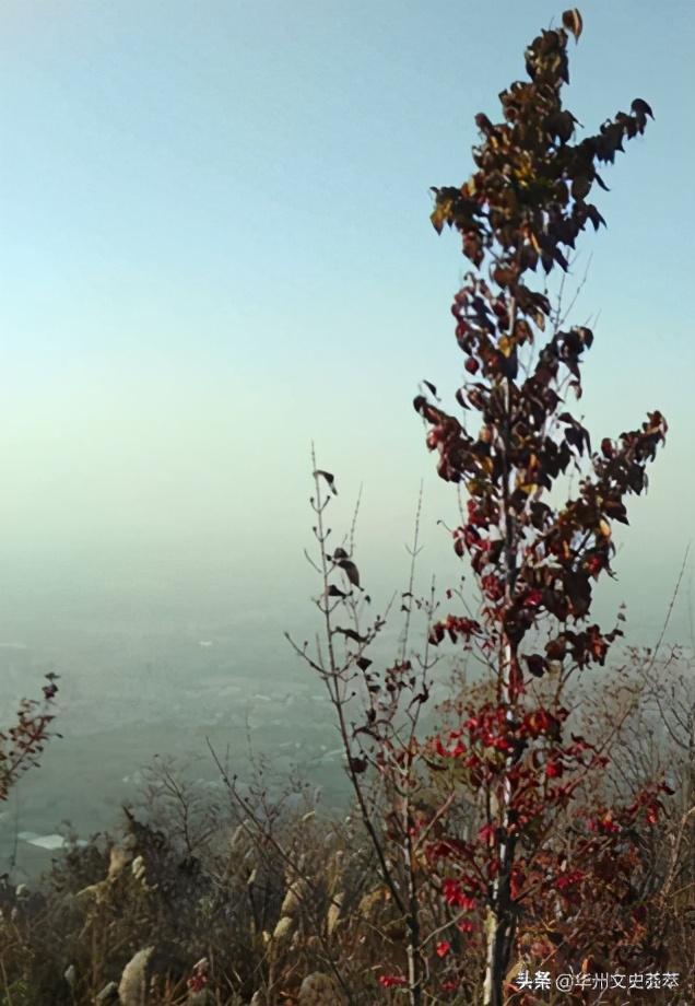 生长在华州南山的茱萸