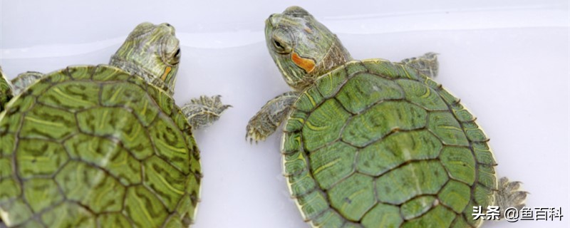 小巴西龟怎么养,吃什么