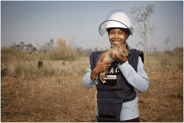 退休了!体长近1米的非洲巨鼠,在菲律宾排雷71颗,功成身退