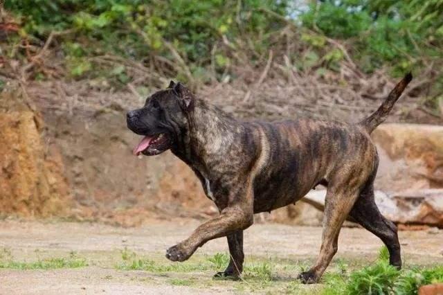 世界5大暴君级斗犬,哪一种才是你心中的战神
