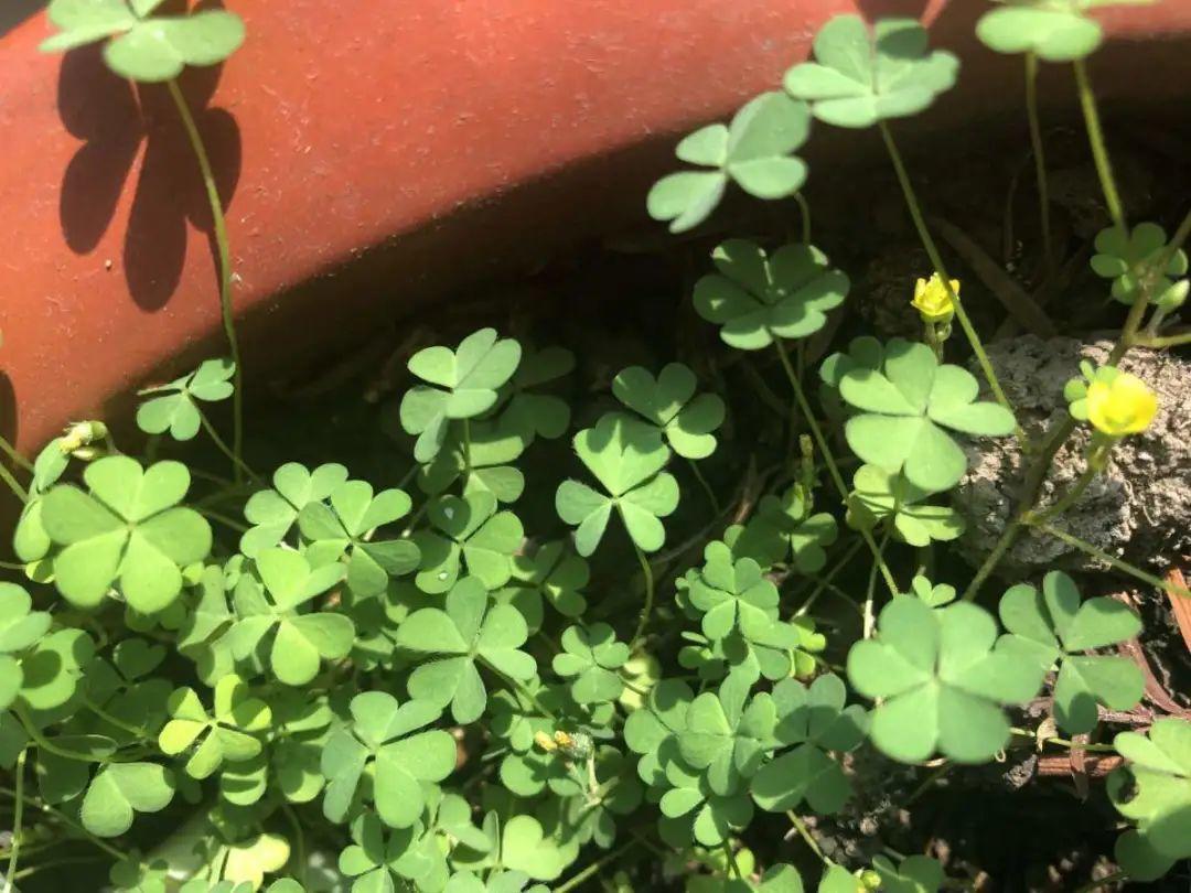 院子长出9种草,看到就铲除,留着就是大祸害 养花小妙招 第2张