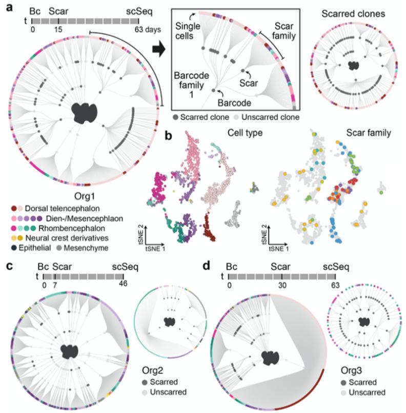 单细胞+空间+4D成像,多组学全面剖析大脑类器官
