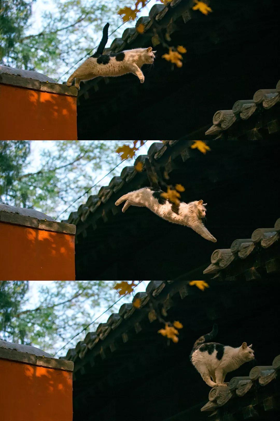 大觉寺秋色中,那些会飞的猫