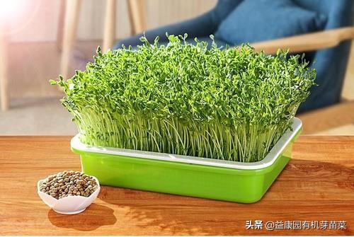 富氢芽苗菜都适合那些人创业