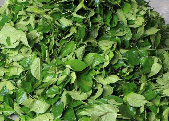 """神仙树叶:夏季做""""凉粉""""是一绝,俗称""""神仙豆腐"""",附制作方法 美食做法 第6张"""