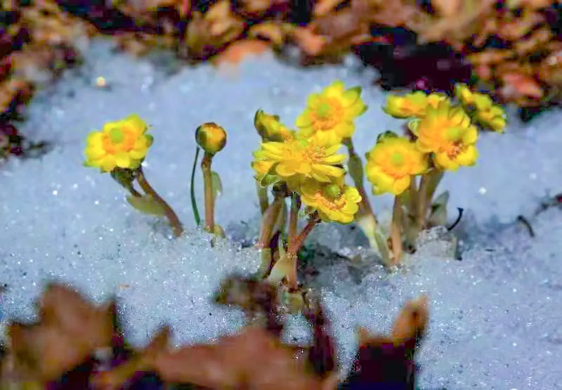 小兴安岭上绽放的冰凌花