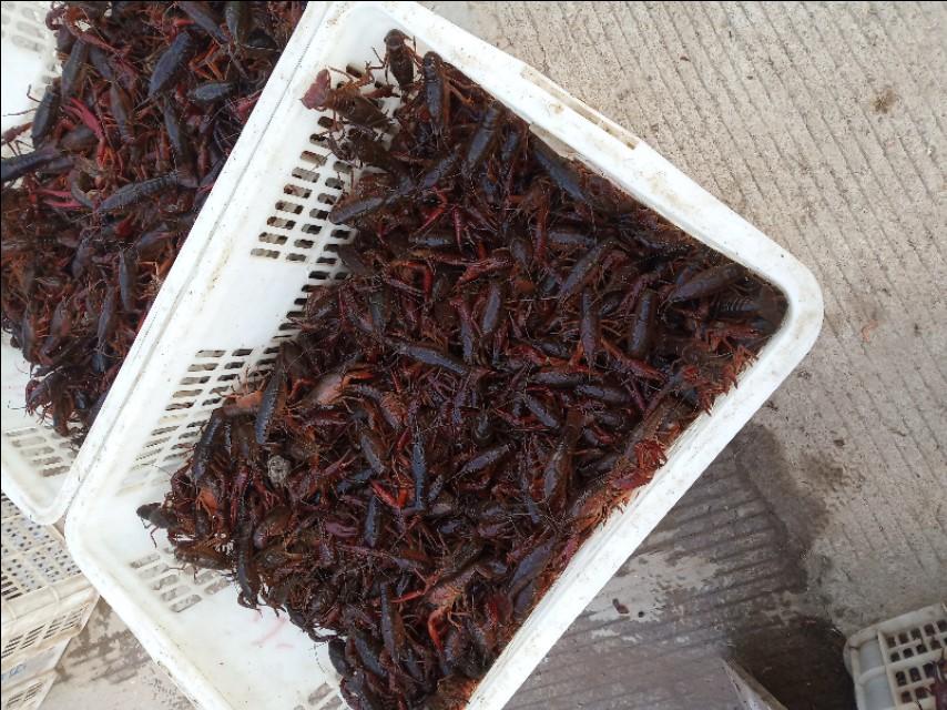 明年低价小龙虾的另外一种养法:自繁自养的基础上繁养分离